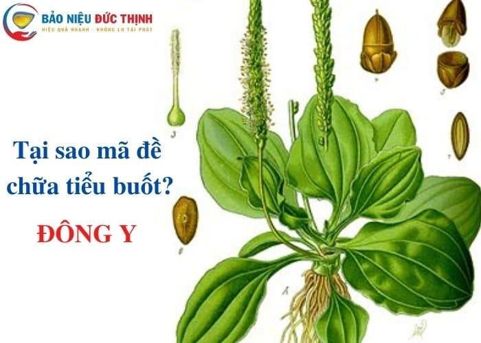 13 - BẬT MÍ 5+ cách chữa tiểu buốt bằng cây mã đề hiệu quả?