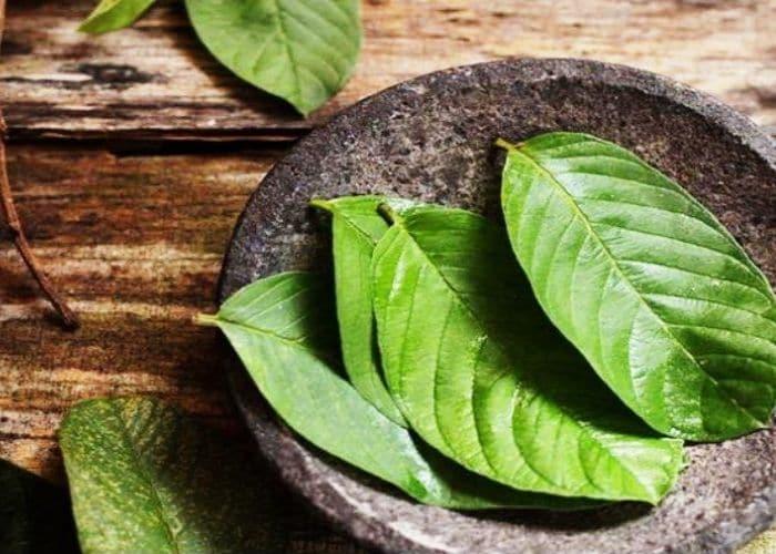 2.chua viem tiet nieu bang la oi tot khong - Hướng dẫn cách chữa viêm đường tiết niệu bằng lá ổi đơn giản, hiệu quả