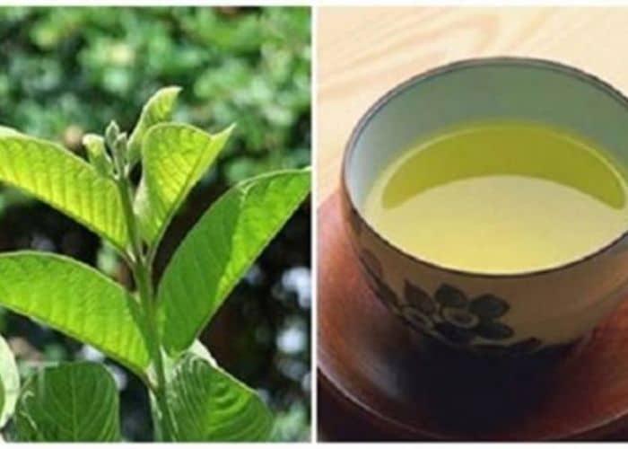 3.chua viem tiet nieu bang la oi tuoi - Hướng dẫn cách chữa viêm đường tiết niệu bằng lá ổi đơn giản, hiệu quả