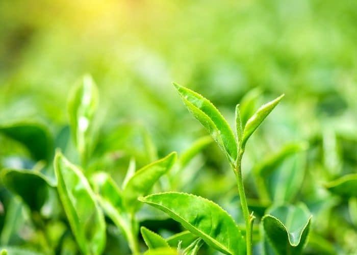 3.chua viem tiet nieu bang thao duoc la che xanh - TOP 7+ Cách chữa viêm đường tiết niệu bằng thảo dược AN TOÀN, HIỆU QUẢ.