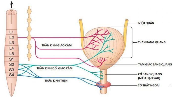 roi loan than kinh bang quang 2 - Rối loạn thần kinh bàng quang: Nguyên nhân, biến chứng và cách chữa trị